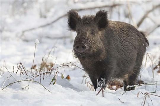 О выявлении африканской чумы свиней в дикой природе