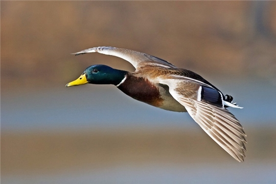 В Чувашии открылся сезон охоты на птиц