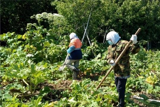 В Тегешевском сельском поселении Урмарского района ведется борьба с борщевиком Сосновского