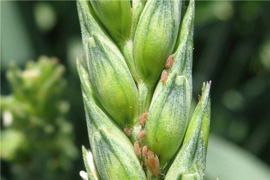 Специалисты зафиксировали появление тли в посевах зерновых культур