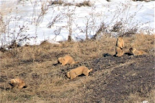 В заповеднике «Присурский» сурки устали ждать весну … и вышли из нор в сугробы