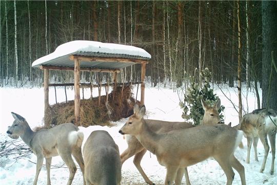 В Чувашии выросла численность косули сибирской