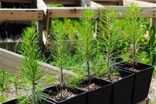Рослесхоз: найден способ повысить эффективность выращивания сеянцев с закрытой корневой системой