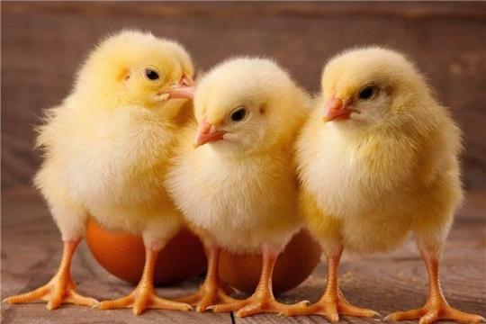 В 2021 году производство птицы в России увеличится до 6,8 млн тонн