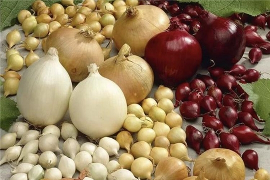 Более 450 тонн лука-севка экспортировали из Чувашии