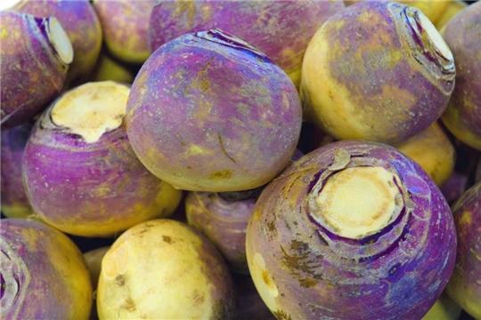 Аграрии Чувашии наращивают объемы экспорта брюквы