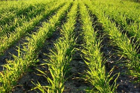 Площадь сева зерновых культур превышает прошлогодний показатель на 25,6 тыс. га