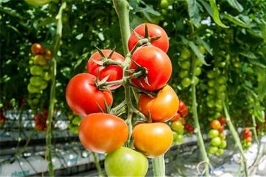 Объем урожая овощей в тепличных комплексах республики превышает прошлогодние показатели на 65%