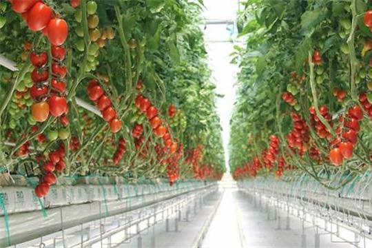 Объем урожая овощей в тепличных комплексах Чувашии превышает прошлогодние показатели в 1,5 раза