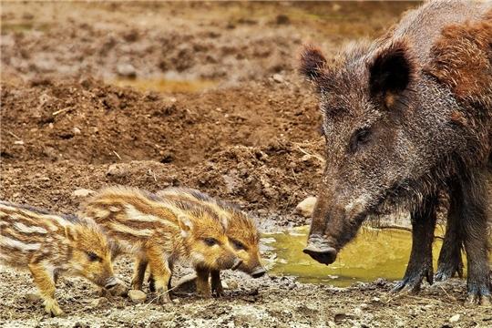 Ситуация с африканской чумой свиней находится под контролем