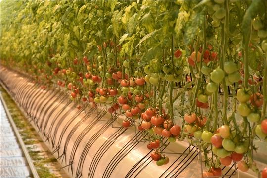 В Чувашии официально открылся тепличный комплекс «Новочебоксарский» проектной мощностью 20 тысяч тонн овощей в год