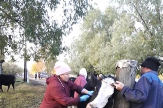 Ветеринарные специалисты Кошноруйского ветеринарного пункта провели обработку крупного рогатого скота против гиподерматоза
