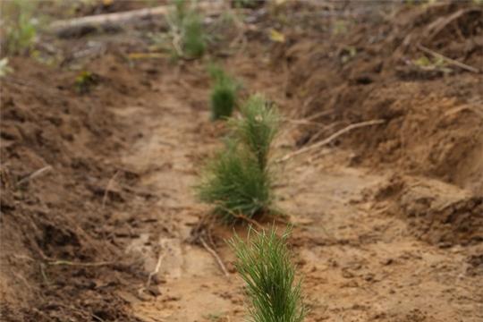 В рамках Всероссийской акции «Сохраним лес» в Заволжье высажено 15 тыс. саженцев сосны
