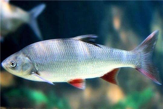 Минприроды Чувашии информирует о рекомендованных объемах добычи (вылова) водных биологических ресурсов, общий допустимый улов которых не устанавливается, для промышленного рыболовства на территории Чувашии в 2020 году