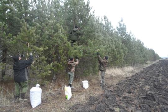Лесоводы Мариинско-Посадского лесничества завершили заготовку лесных семян