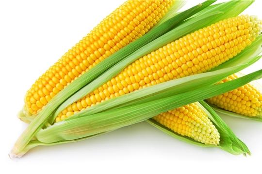 В Вурнарском районе приступили к уборке кукурузы на зерно