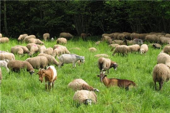 Разрабатывается стратегия развития отрасли овцеводства и козоводства.