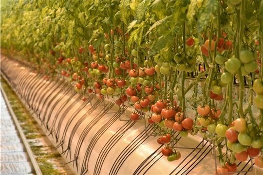 В Чувашии официально открылся тепличный комплекс «Новочебоксарский» проектной мощностью 20 000 тонн овощей в год