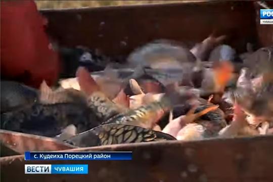 Путинный день год кормит: в рыбоводческом хозяйстве Порецкого района собирают плавучий урожай