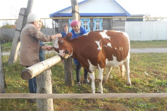 Началась ветеринарная обработка против подкожного овода КРС