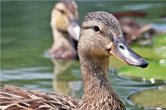 В Чебоксарах откроется специализированный рынок для продажи птицы
