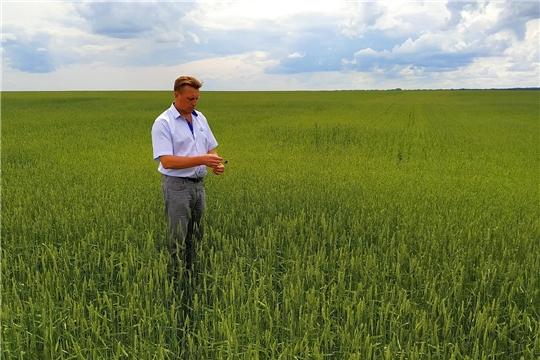 Осмотр посевов зерновых культур в ООО «Рассветовский»