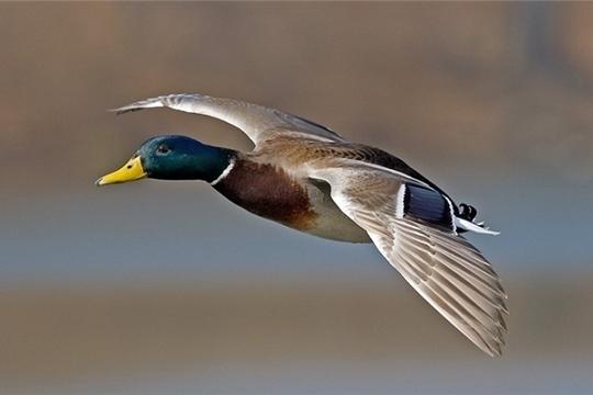 Сезон весенней охоты в Чувашии откроется 20 апреля