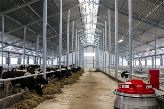 В Чебоксарском районе делают ставку на молоко
