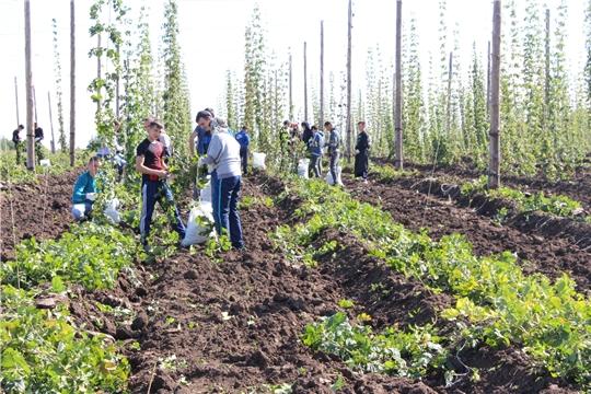 В Студгородке в Кшаушском сельском поселении завершается уборка хмеля
