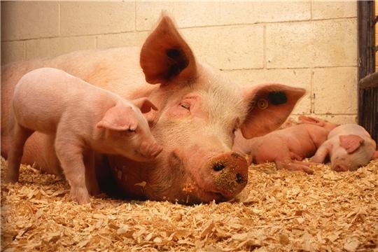 Внимание! Очаг африканской чумы свиней на территории Курской области!