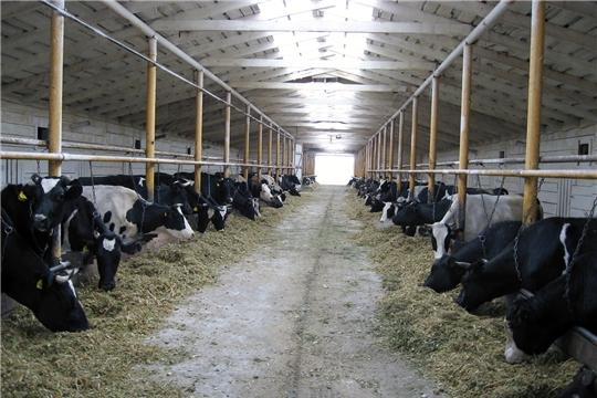 В Ибресинском районе  продолжается работа комиссии по проверке готовности животноводческих помещений к зимнему стойловому периоду