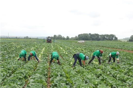Наряду с заготовкой кормов аграрии республики приступили к уборке овощей