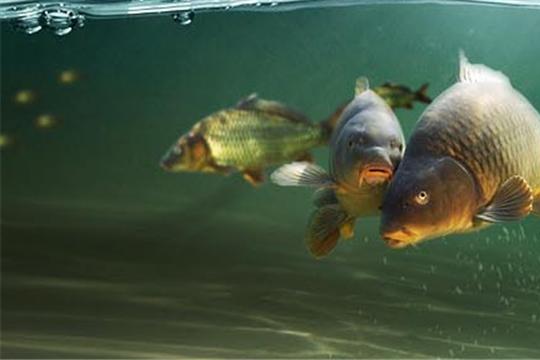 Рыбхоз Карамышево – это полносистемное прудовое рыбоводное хозяйство