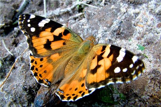 Нашествие бабочек-репейниц отмечено в Чувашии