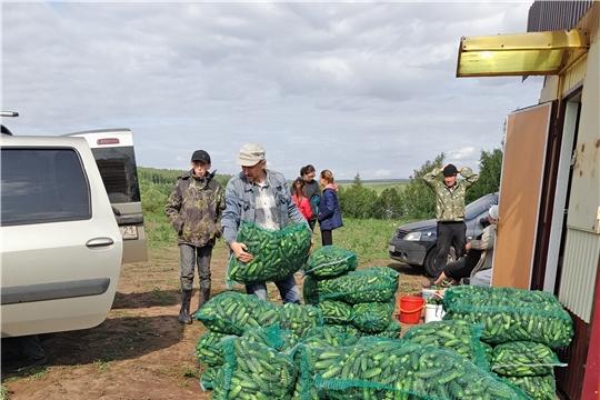 В кооперативе Пелагея идет работа по уборке урожая огурцов