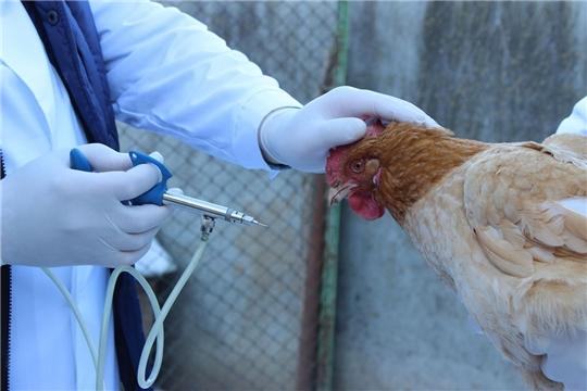 Профилактика гриппа птиц в Красночетайском районе