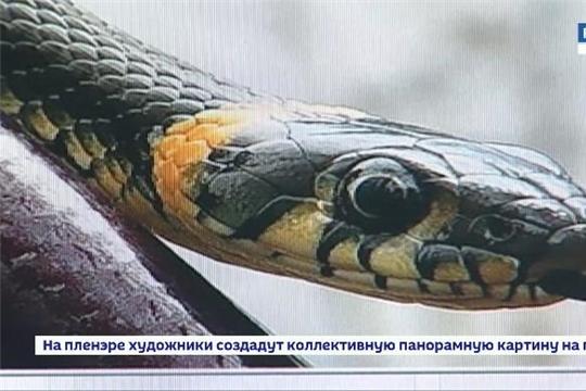 Осторожно, змеи! За этот год в БСМП с симптомами отравления змеиным ядом поступило 11 жителей республики Источник: http://chgtrk.ru/news/23722