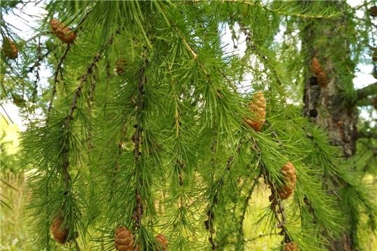 В республике началась заготовка лесосеменного сырья лиственницы сибирской