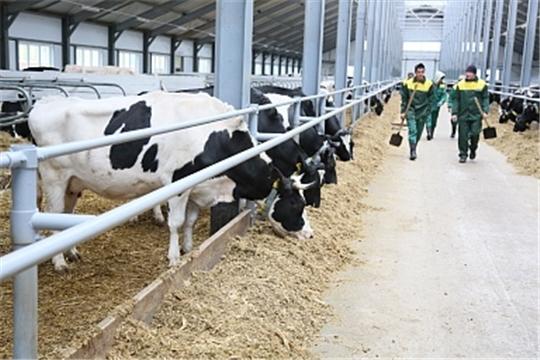 В сельхозпредприятиях Вурнарского района растет поголовье скота