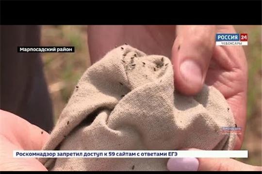 В зерновых посевах республики обнаружено превышение допустимого порога заселения хлебной блошки