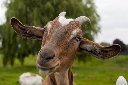 Стратегия развития овцеводства и козоводства в РФ будет разработана к ноябрю 2019 года