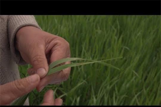 Россельхозцентр Чувашии мониторит поля на наличие вредителей и болезней