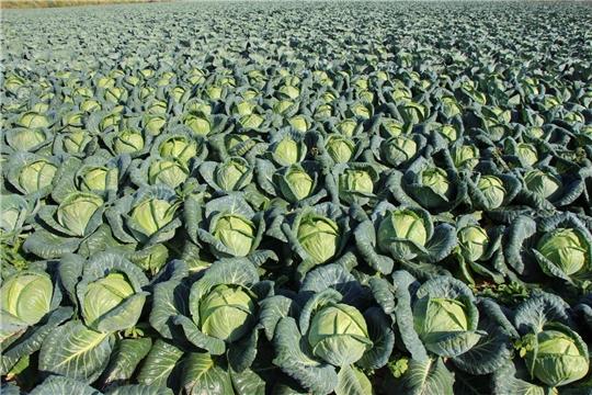В нынешнем сезоне у аграриев республики рекордная урожайность овощей.