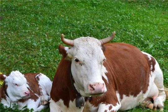 Профилактика бесплодия у коров – залог развития животноводства