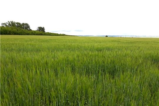 Проведена проверка целевого использования земель сельхозназначения в Мариинско-Посадском, Урмарском и Канашском районах