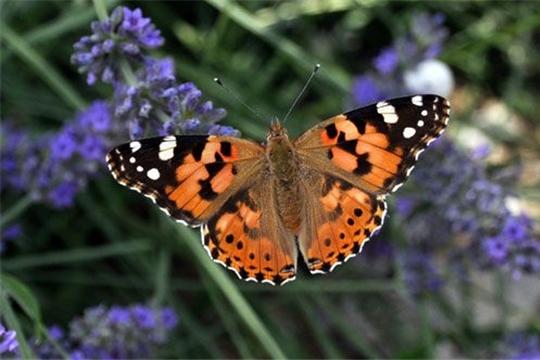 Осторожно: репейницы! Нашествие бабочек-репейниц отмечено в Чувашии