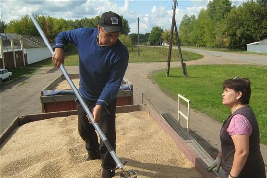 Урмарским хлебоприемным предприятием идет заготовка зерна