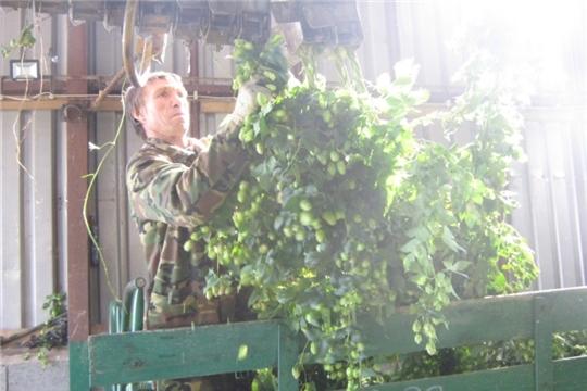 Продолжается уборка хмеля механизированным способом в деревне Новое Муратово Тегешевского сельского поселения