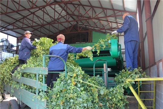 В ООО «АгроРесурсы» заработали первые отечественные хмелеуборочный комбайн и хмелесушилка
