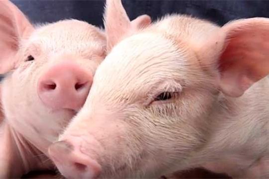 «Пастереллез свиней»